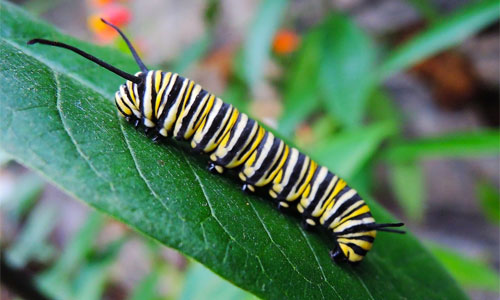 nothing-in-a-caterpillar-says-you-will-be-butterfly-drew-simmie
