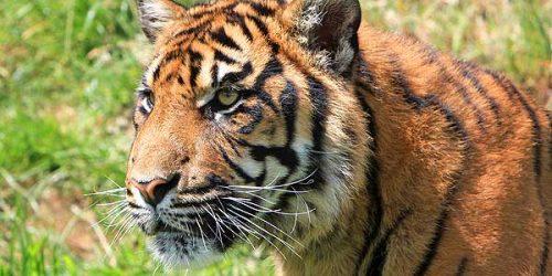 tiger-drew-simmie1